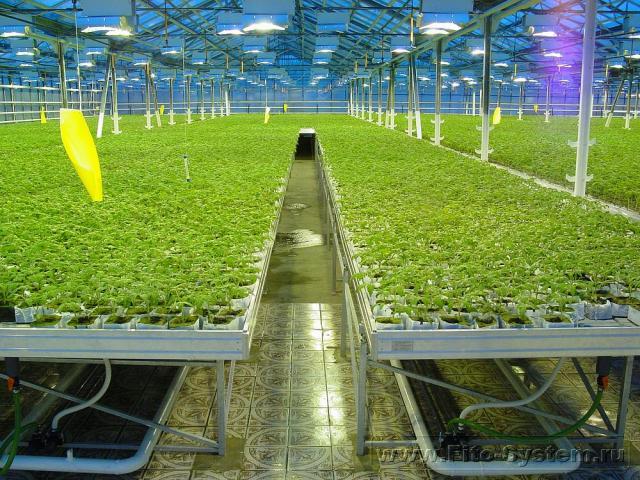 Выращивание зелени в промышленных теплицах