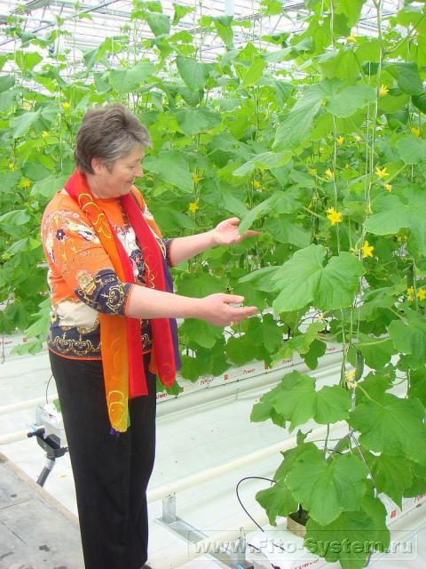 Выращивание огурца в теплице